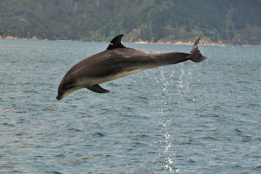 Dolphin Watch Tours Bottlenose Dolphin leaping