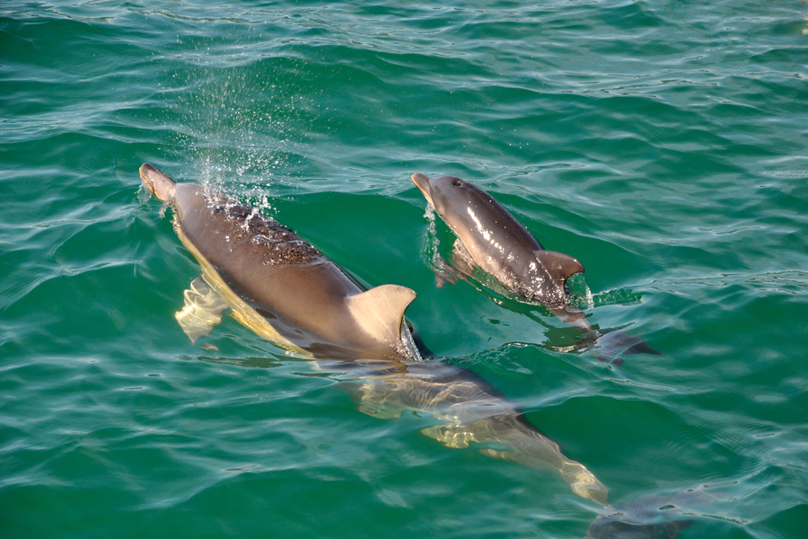 Dolphin Watch Tours Mother and Calf