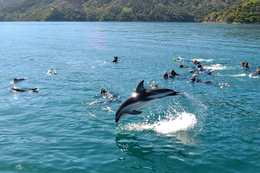 Dolphin Watch Tours Picton Dusky Dolphin