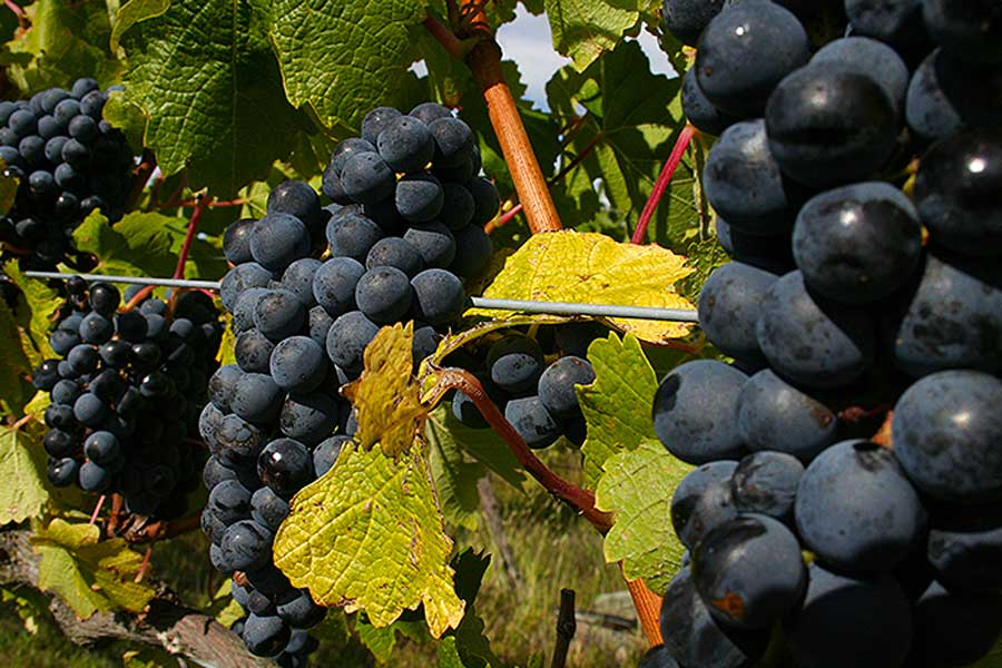 Red Grapes Hawkes Bay Scenic Tours