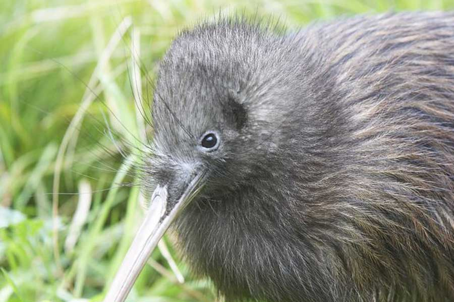 Kiwi Tour Willowbank Wildlife Reserve Christchurch