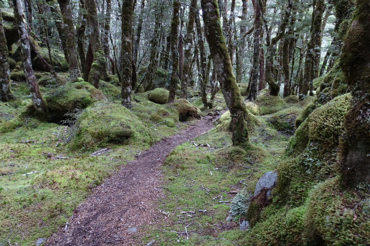 Mossy beech forest seen while hiking New Zealand