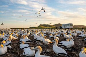 gannet colony new zealand guided tours