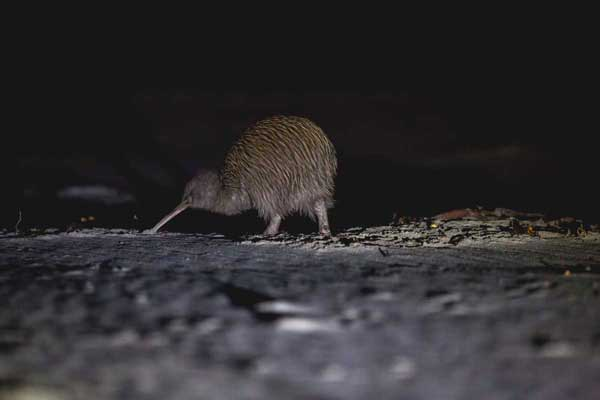 Real Journeys Stewart Island Wild Kiwi Encounter